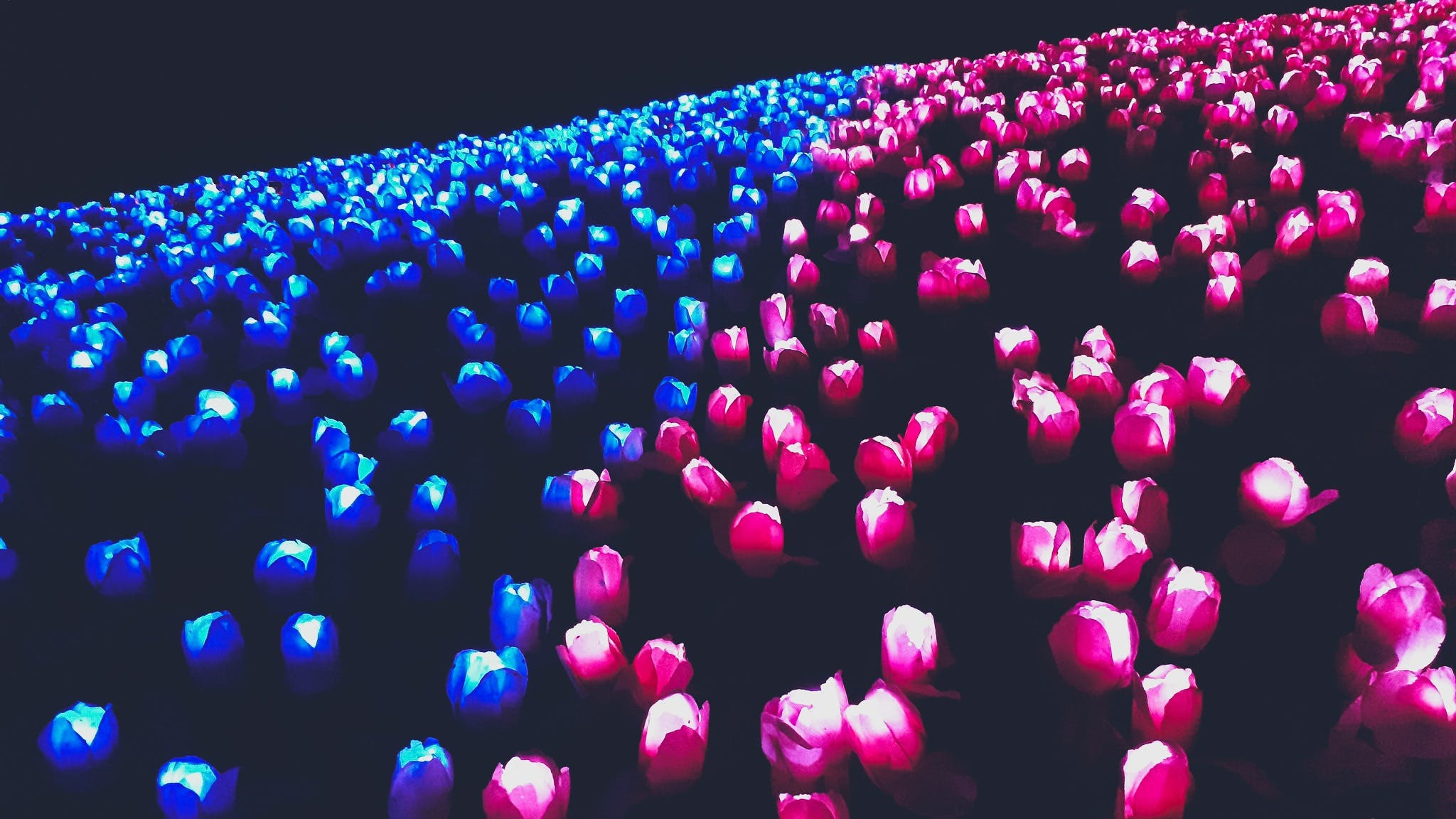 Free stock photo of field of flowers, led lights, night