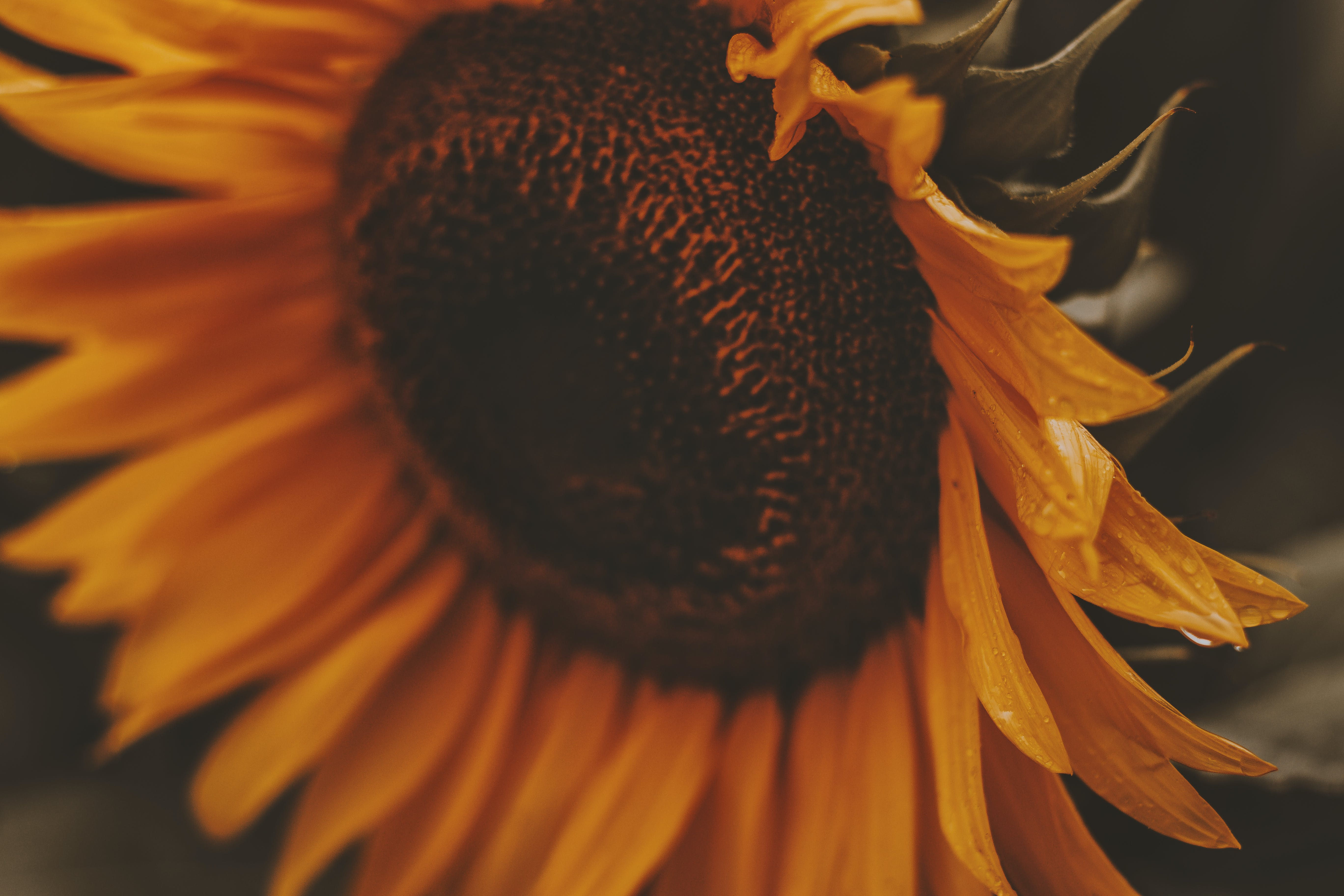 Close-up Photo of Sunflower in Bloom