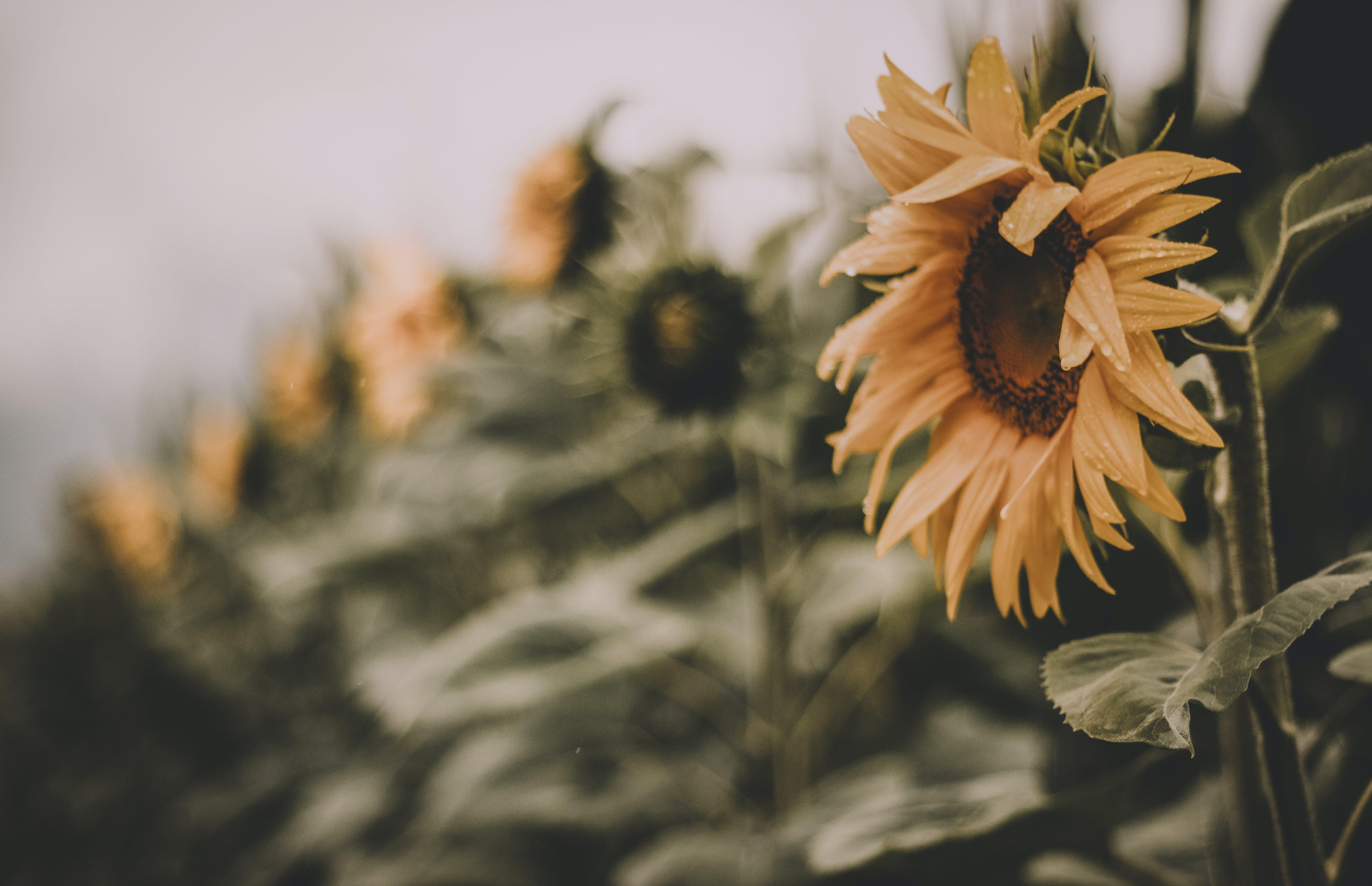 การเจริญเติบโต, ดอกทานตะวัน, ดอกไม้