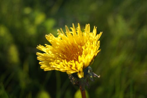 Selective Focus Photography of Yellow Dandelion Flower