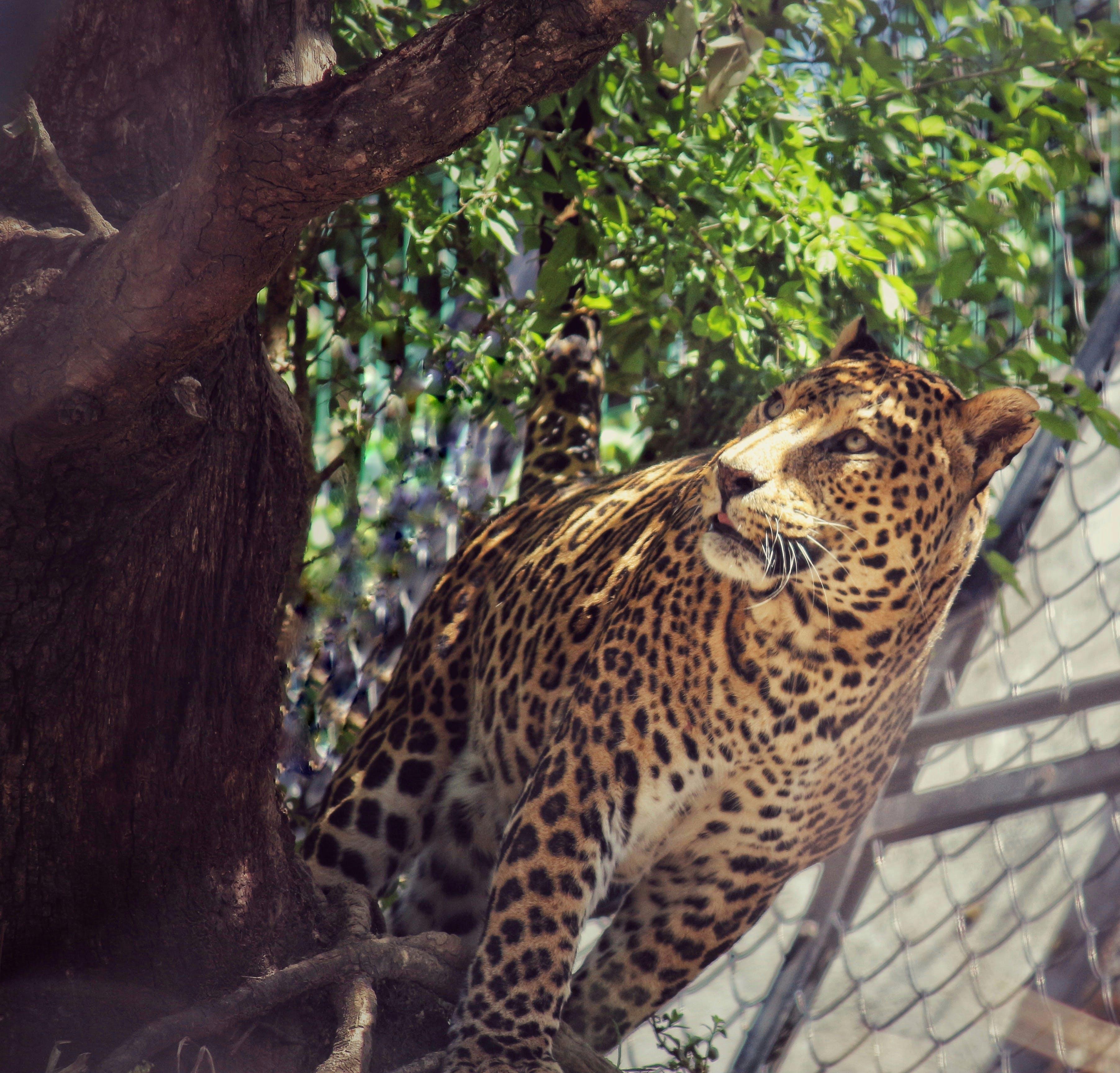 Gratis stockfoto met #animalprints #, #luipaard, #wildlifecrime #india #nainitalzoo #leopardlife