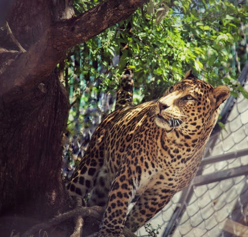 Free stock photo of #animalprints #, #leopard, #wildlifecrime #india #nainitalzoo #leopardlife