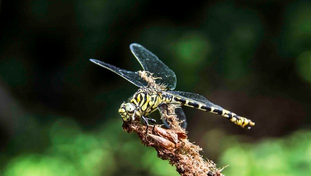 Free stock photo of tiger, dragonfly