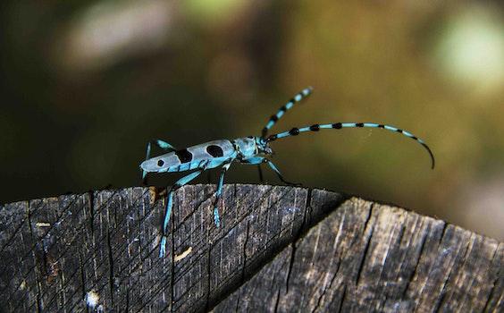 Free stock photo of blue, beetle, Longhorn