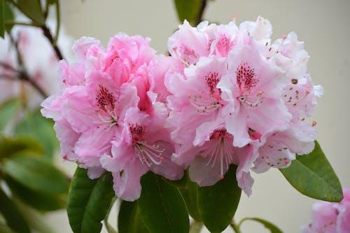 คลังภาพถ่ายฟรี ของ botanique, fleurs, floraison, flore