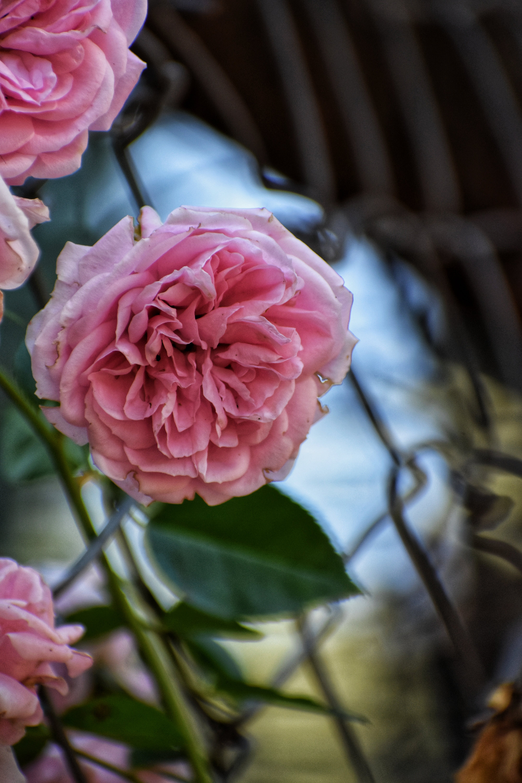 Free stock photo of flowe, garden, garden flower, nature