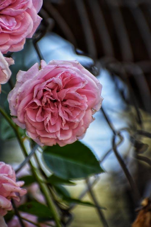 Photos gratuites de couler, fleur de jardin, fleur rose, jardin