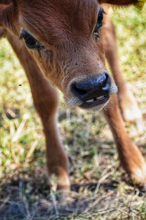 Free stock photo of animal, animal photography, brown cow, cow