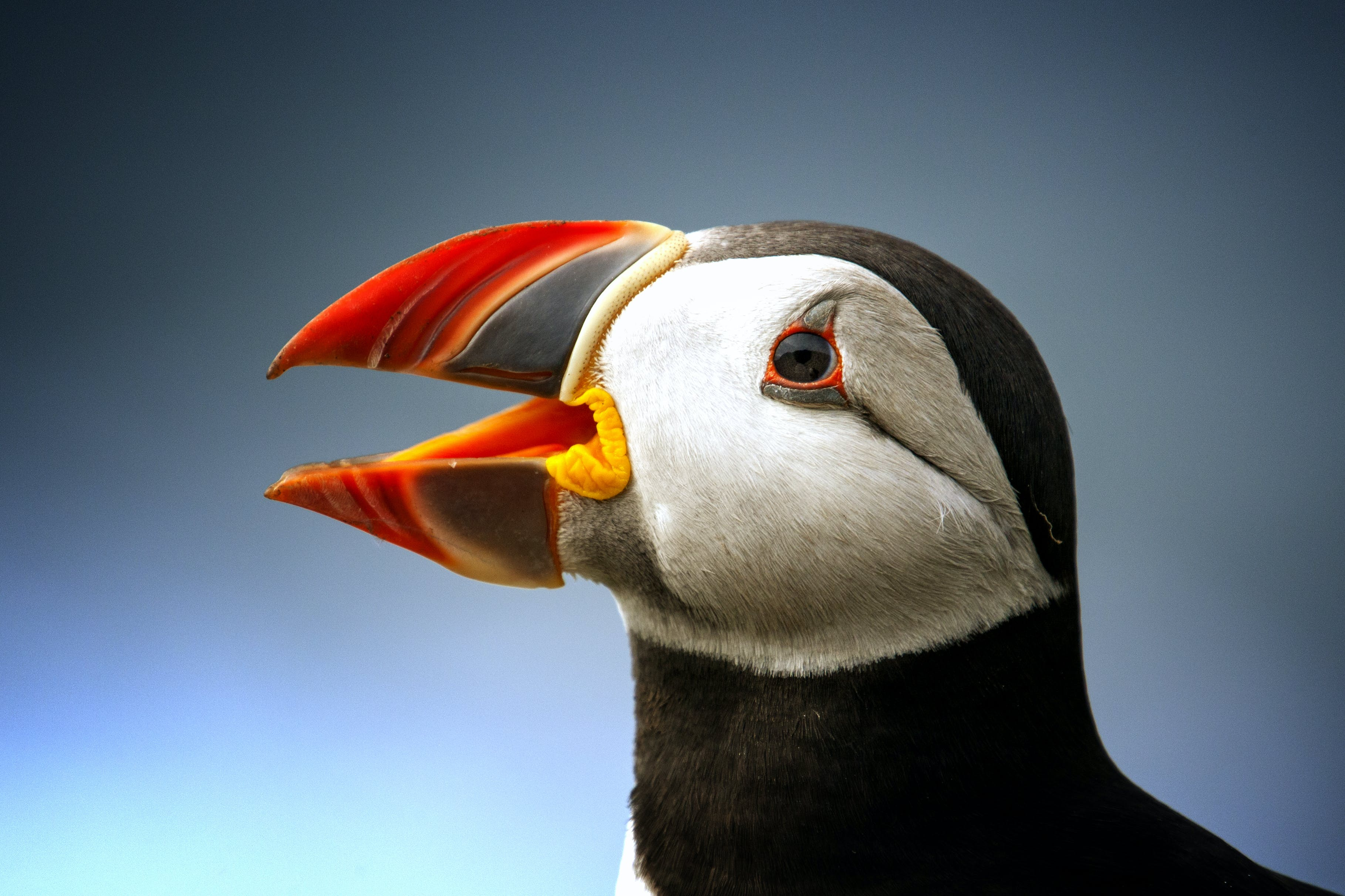 Black Atlantic Puffin