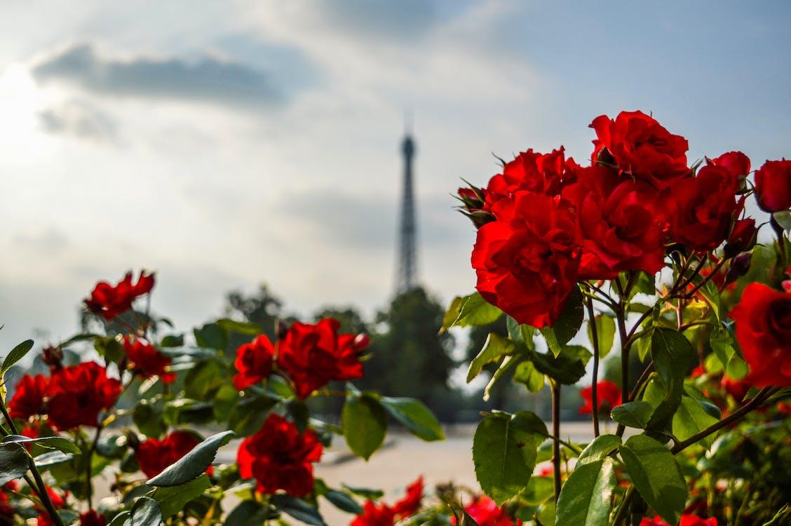 꽃, 꽃봉오리, 꽃이 피는