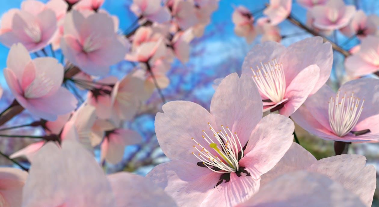 꽃, 벚꽃, 분홍색 꽃