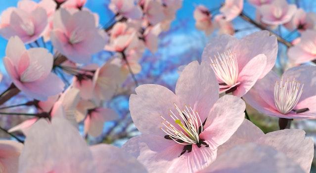 Free stock photo of flower, blossom, natural, cherry blossom