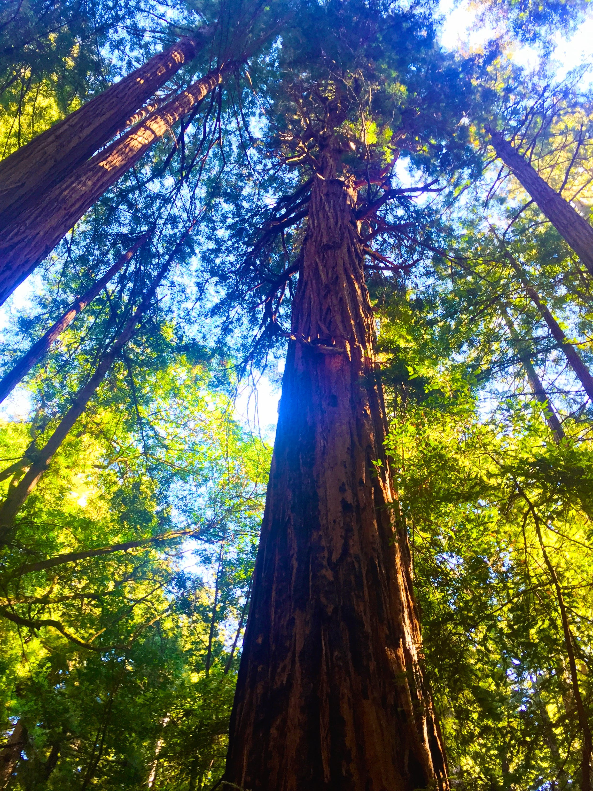 Free stock photo of forest, trees, redwoods