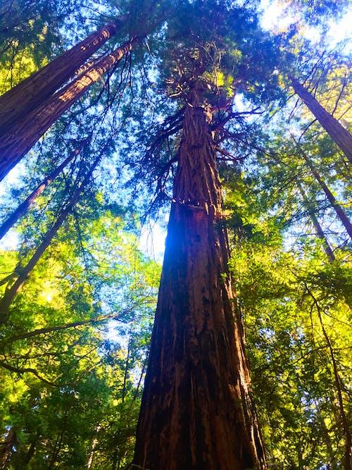 Photos gratuites de arbres, forêt, séquoias