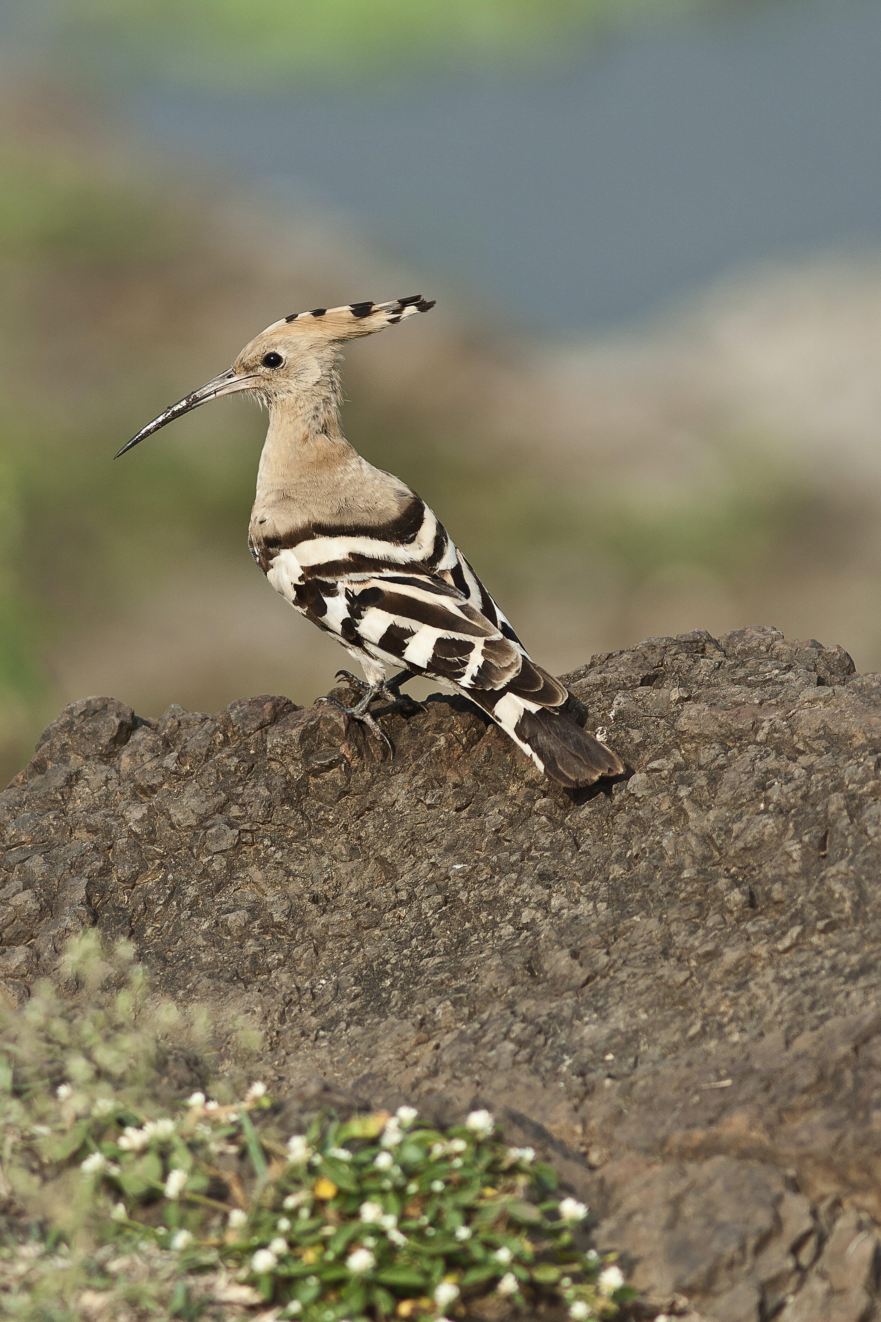Foto profissional grátis de pássaro huppo