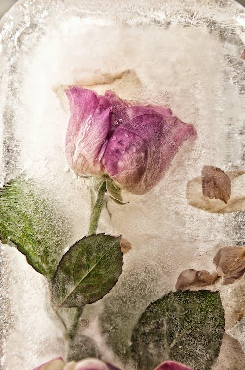 Fotos de stock gratuitas de hielo, Rosa