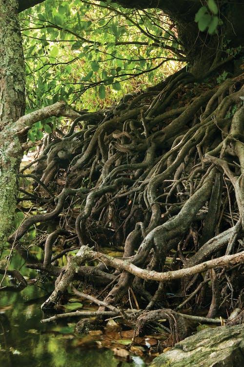 Fotos de stock gratuitas de bosque, raíces