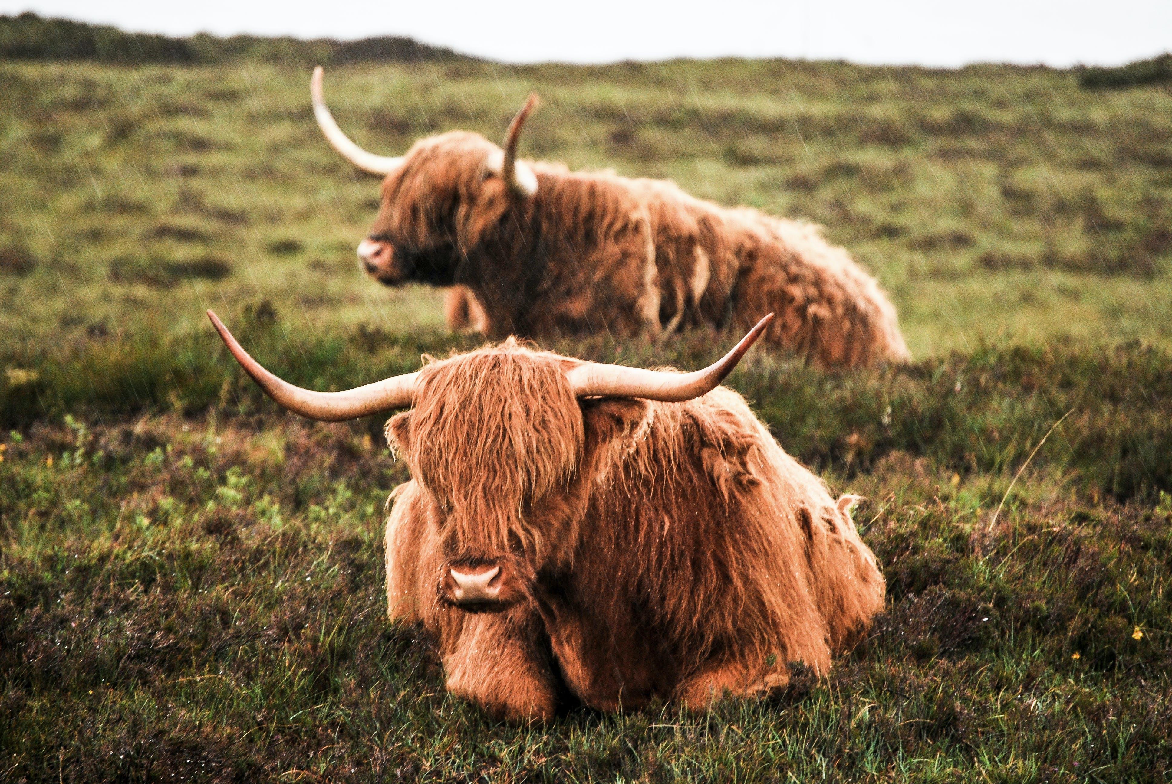 Αγελάδα των Χάιλαντς, αγρόκτημα, βόδια