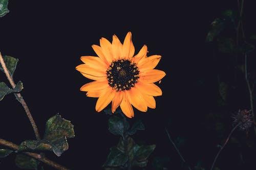 ayçiçeği, bulanık arka plan, çiçek, Çiçek açmak içeren Ücretsiz stok fotoğraf