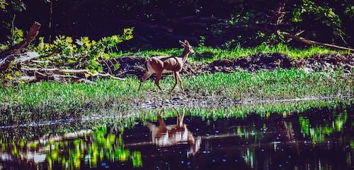 Photos gratuites de cerf, eau, faune, nature