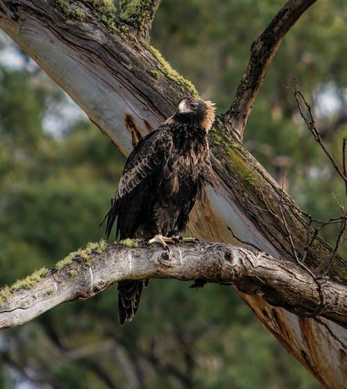 アクイラオーダックス, タスマニアウェッジテールイーグルの無料の写真素材
