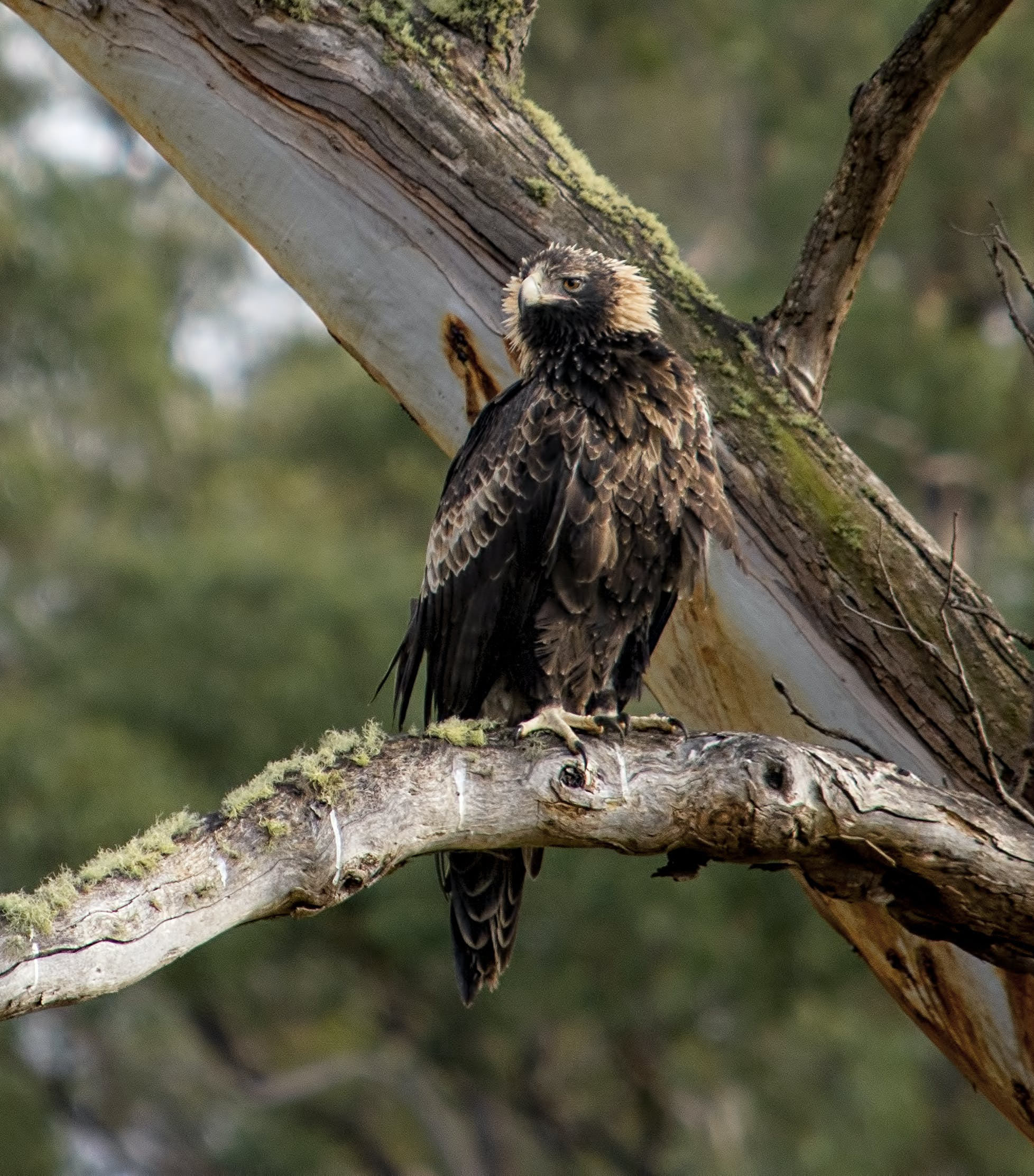 Free stock photo of Aquila audax, Tasmanian Wedge-Tailed Eagle