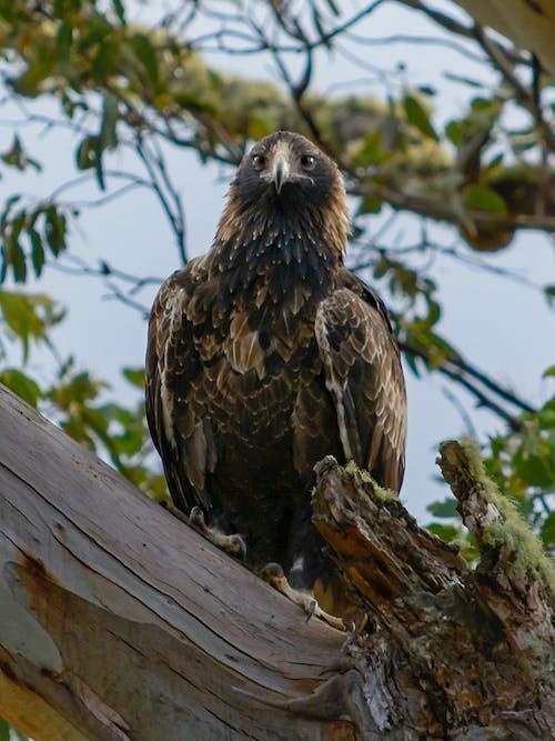 Gratis stockfoto met aquila audax, tasmaanse wig-de steel verwijderde van eagle