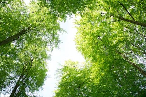 Darmowe zdjęcie z galerii z drzewa, las, lato, wierzchołek drzewa