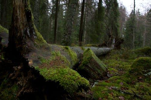 Darmowe zdjęcie z galerii z drzewo, las, mech, natura