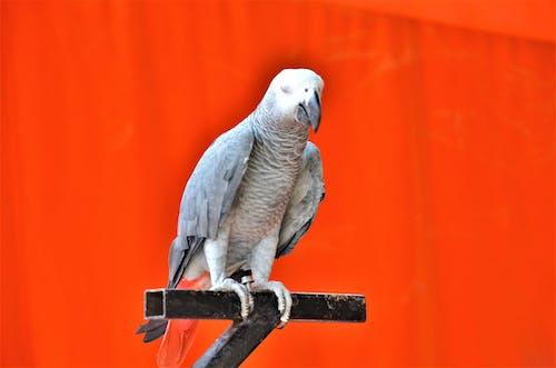 Gratis arkivbilde med #fugl, lur, meditere, papegøye