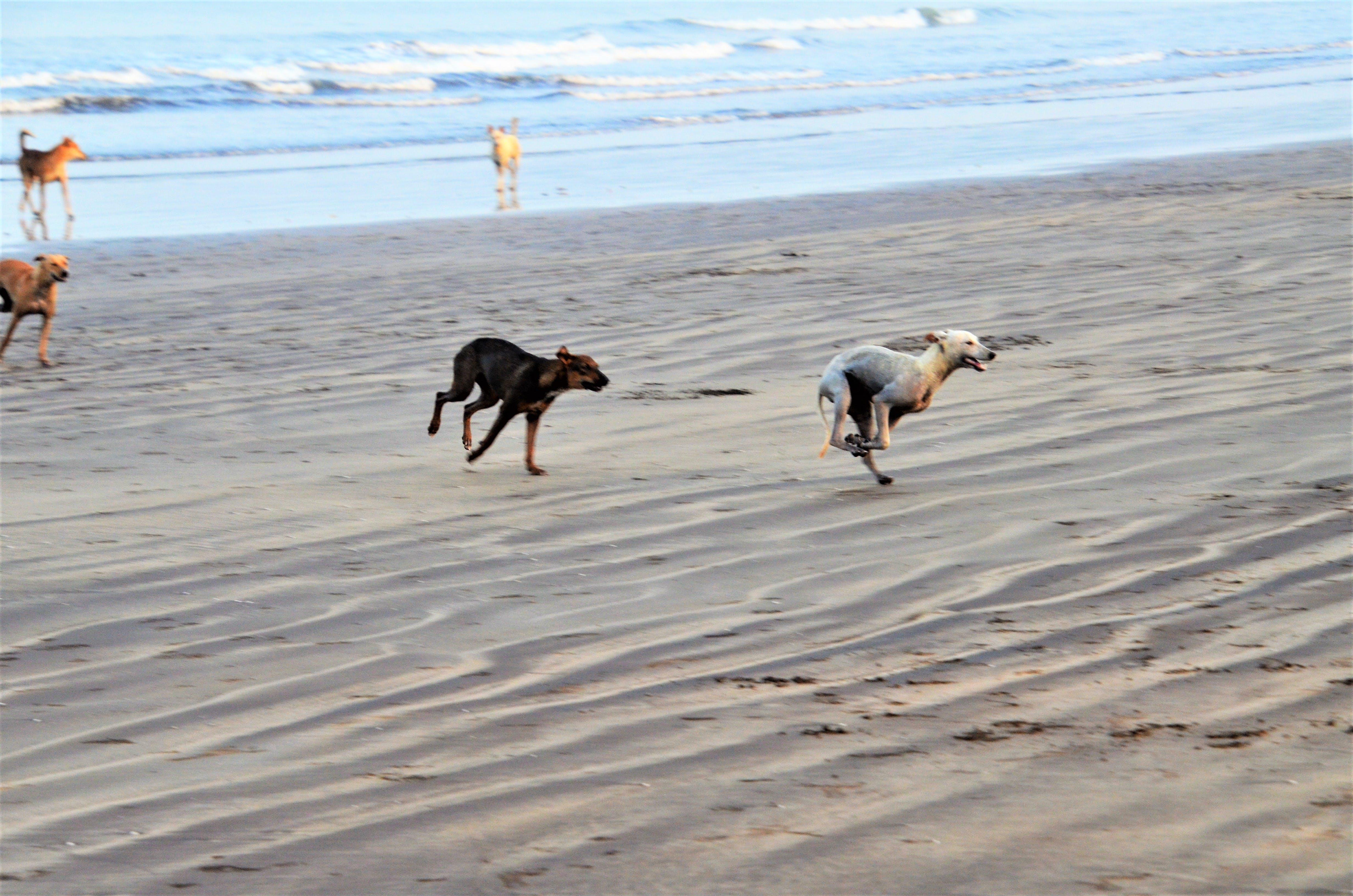 Free stock photo of beach, chase, dog, happy