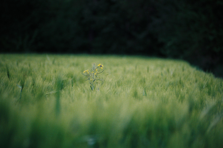 Free stock photo of nature, field, flowers, yellow