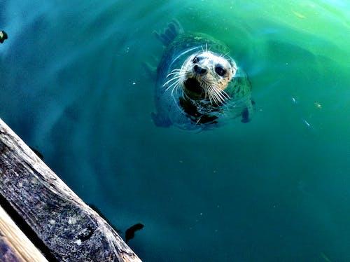 Photos gratuites de lion de mer, vie aquatique