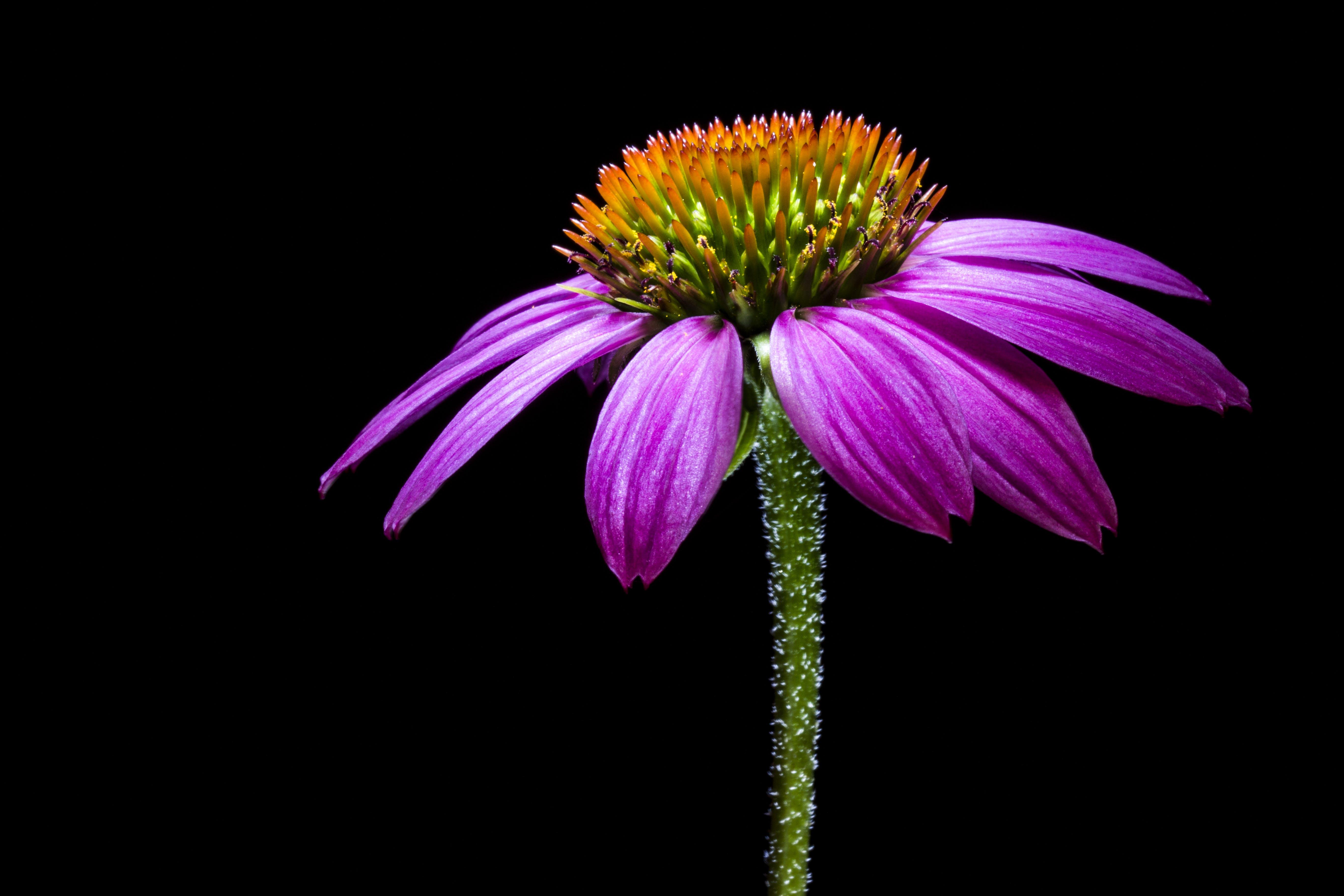 Kostenloses Stock Foto zu blume, lila