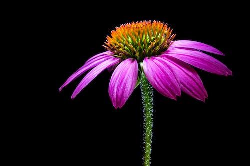 紫, 花の無料の写真素材