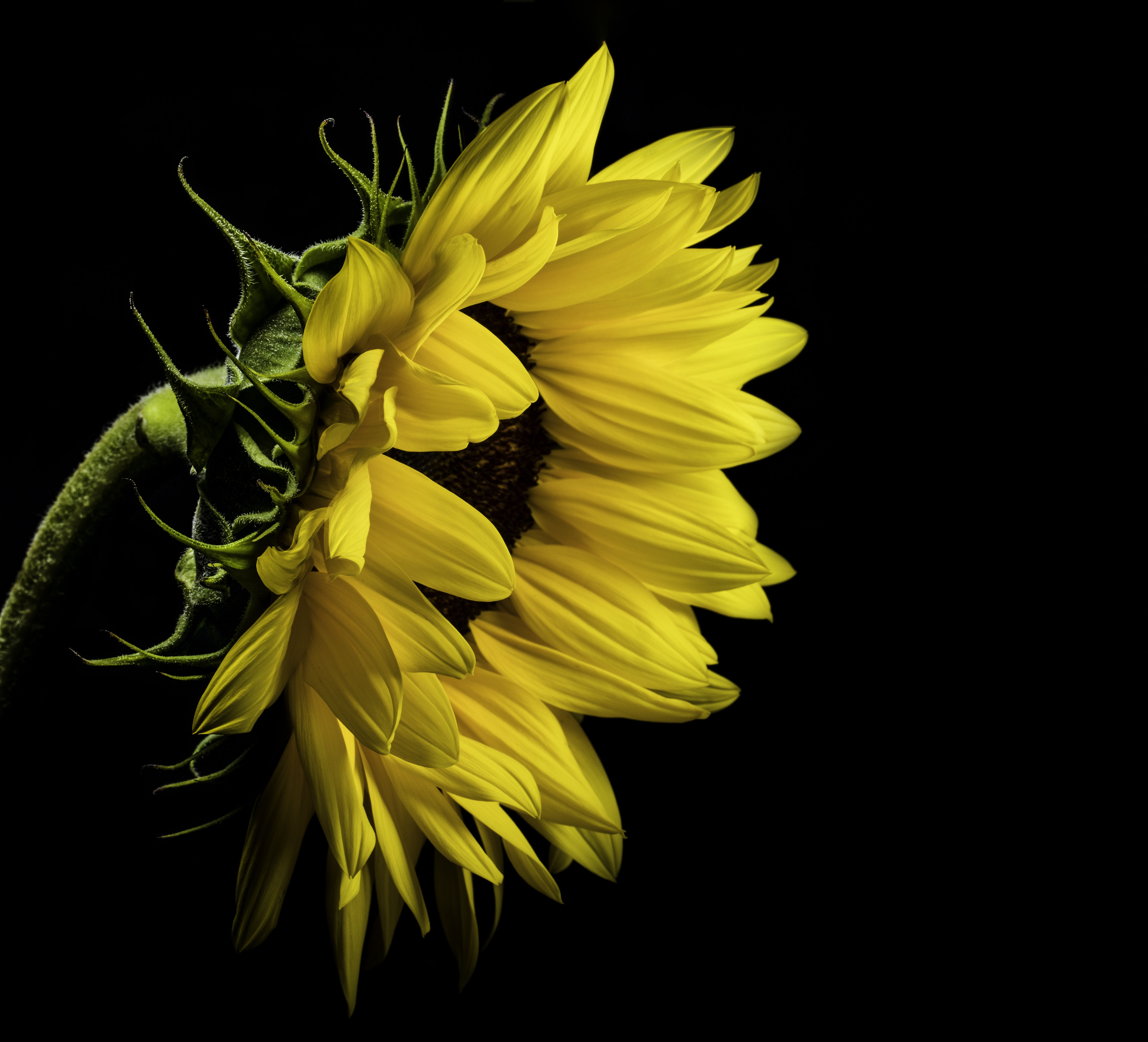 Close Photo of Yellow Sunflower on Black Background