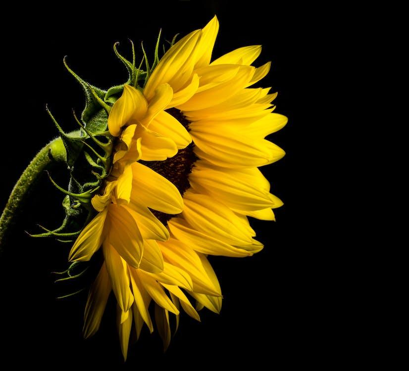 充滿活力, 向日葵, 專注