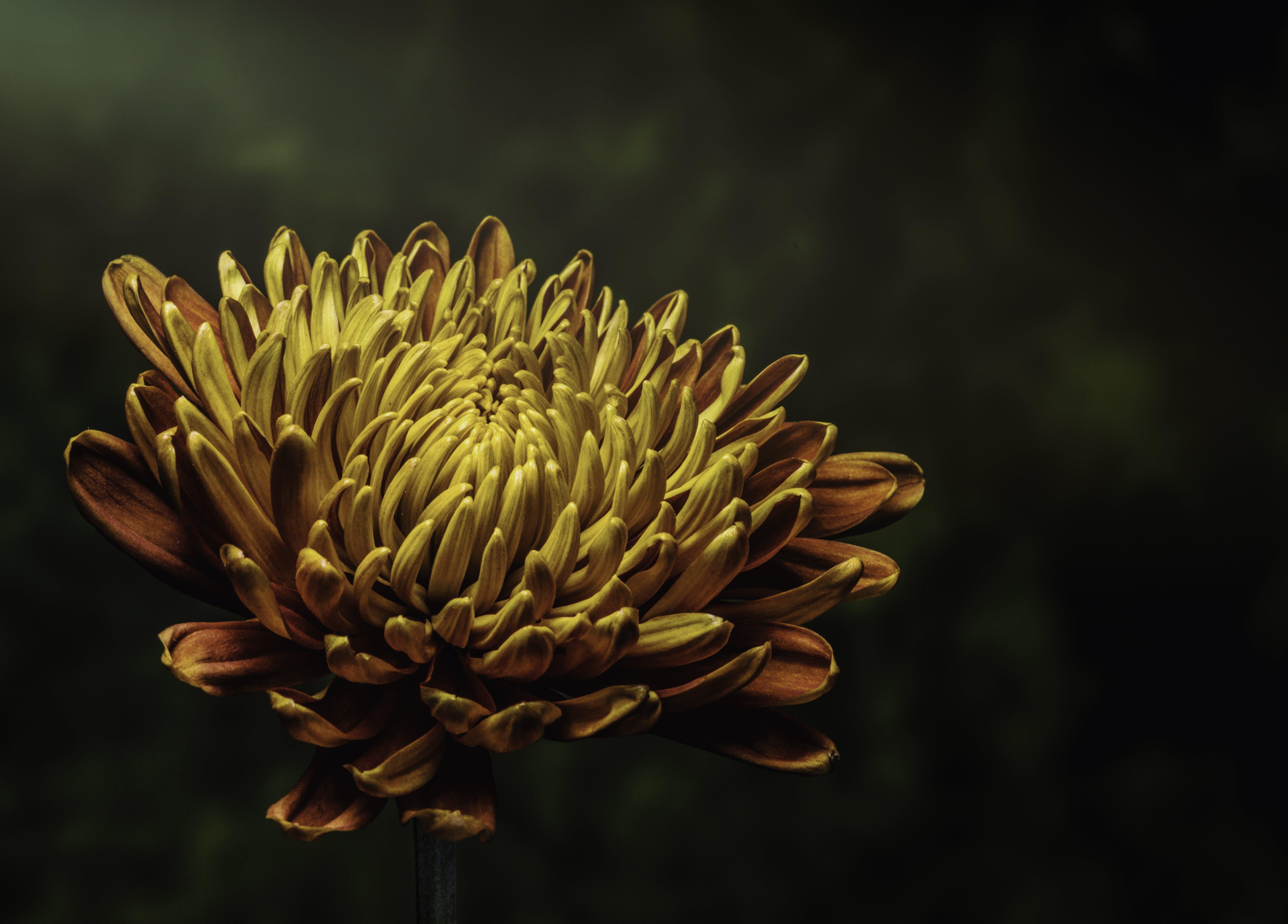 꽃봉오리, 꽃이 피는, 꽃잎, 밝은의 무료 스톡 사진