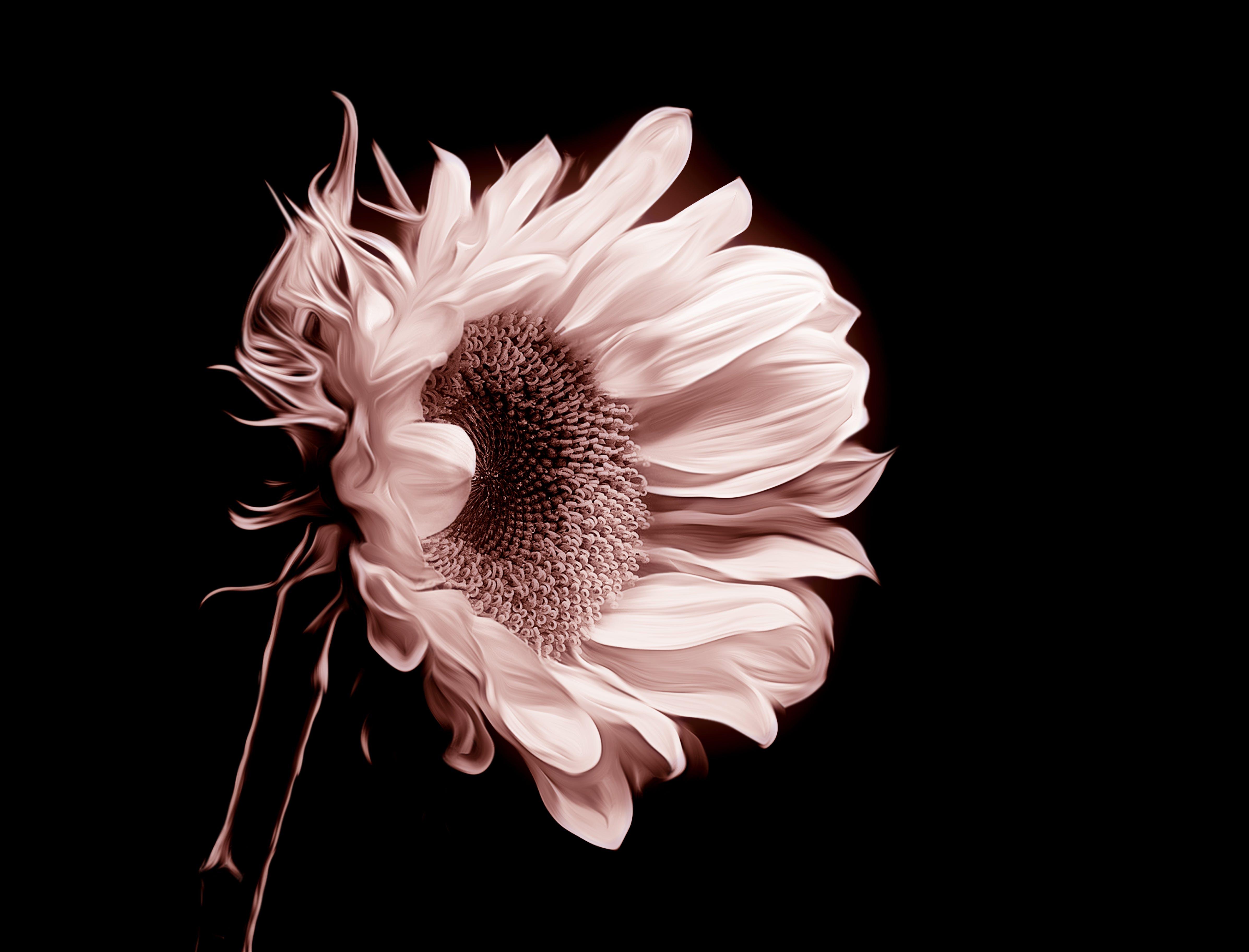 Closeup Photo of Sunflower Flower
