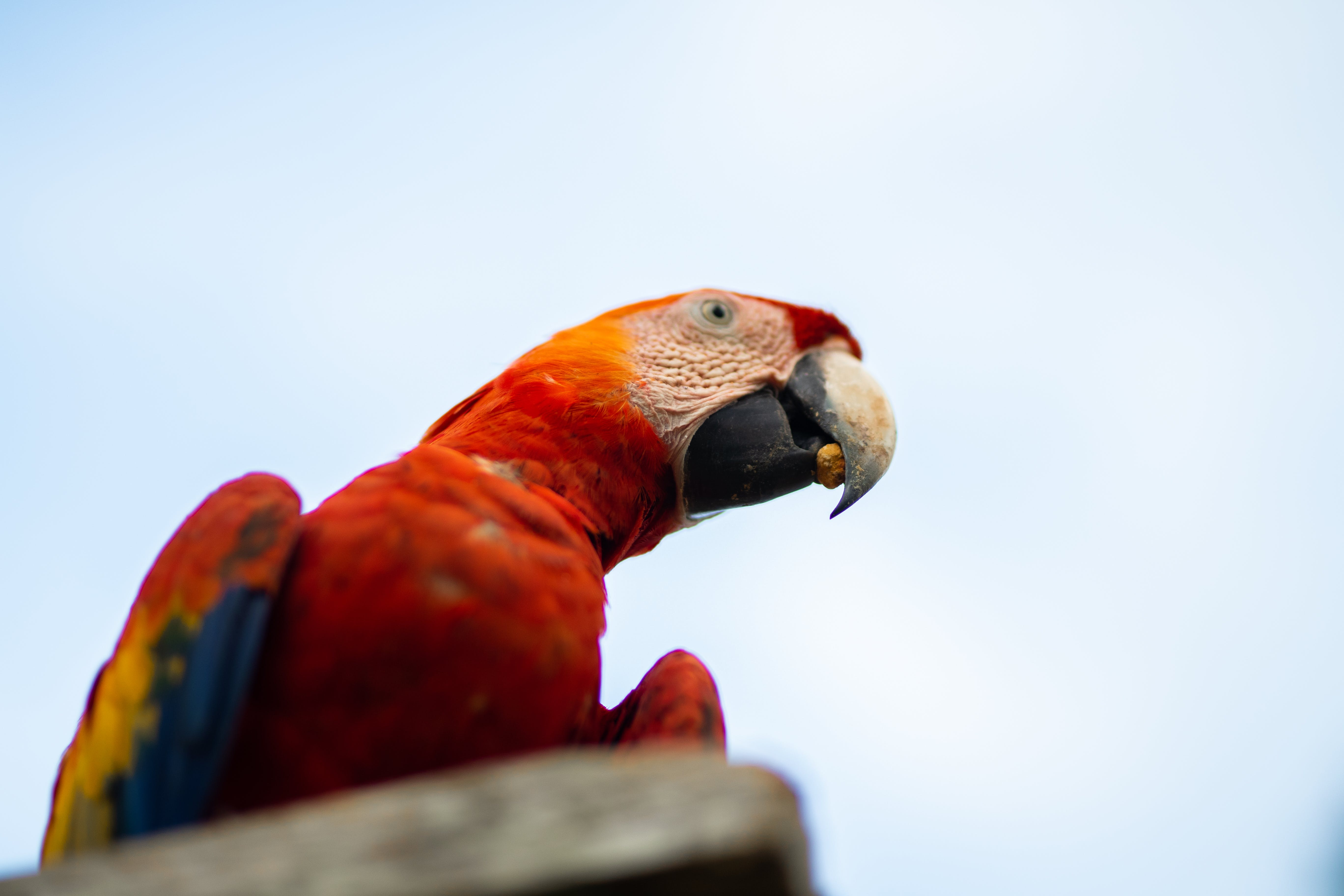 Photo of a Macau Parrot