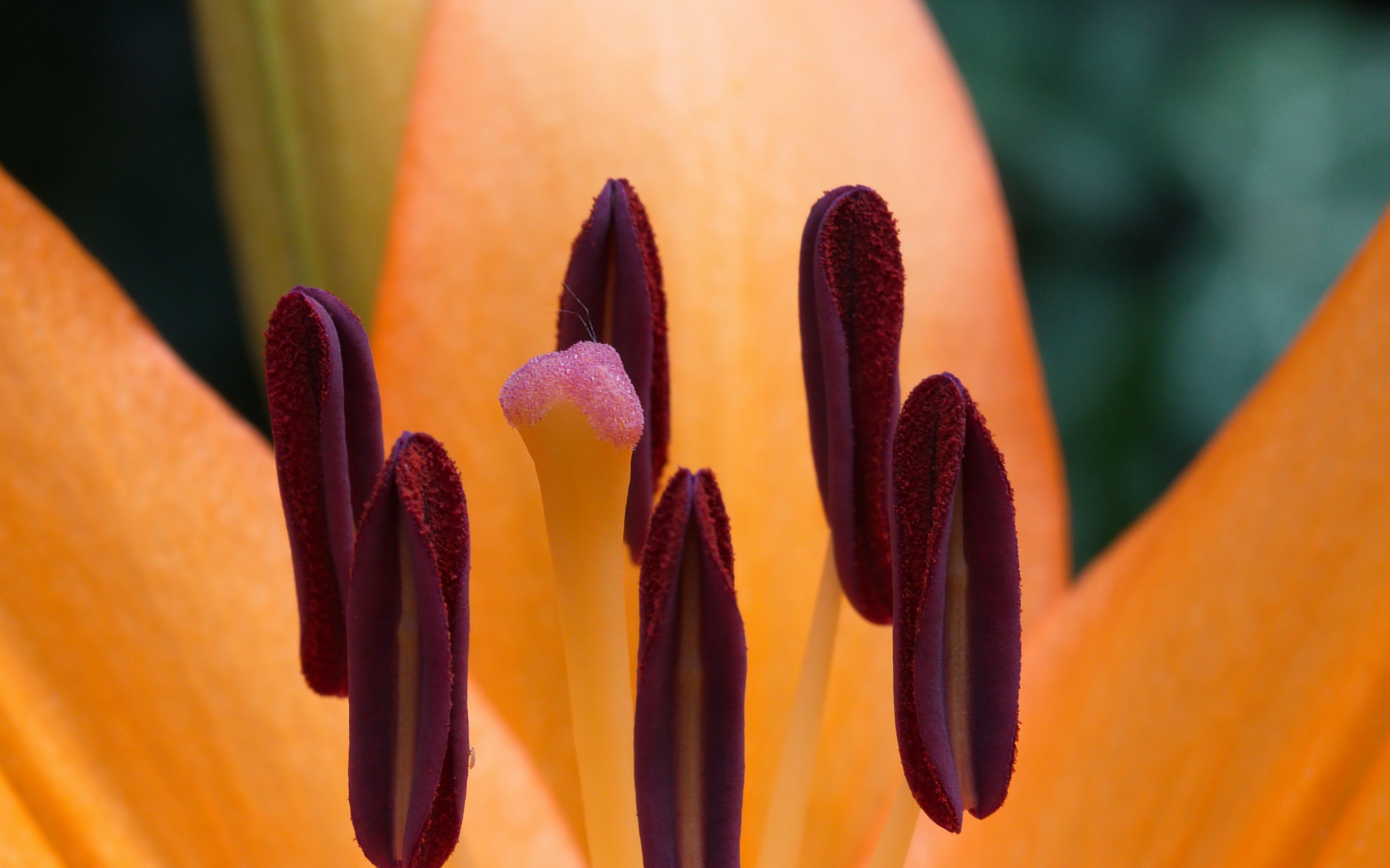 Free stock photo of close-up view, daylily, flower, macro photography