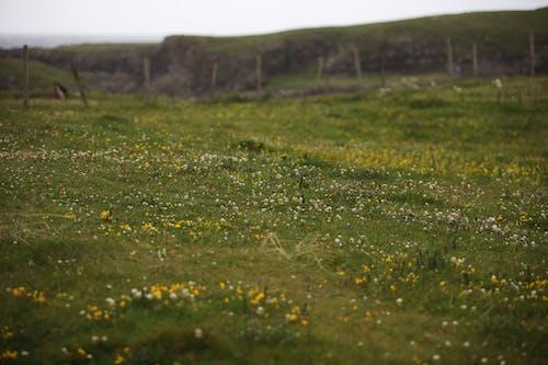 Fotos de stock gratuitas de campo de hierba, flor, verde