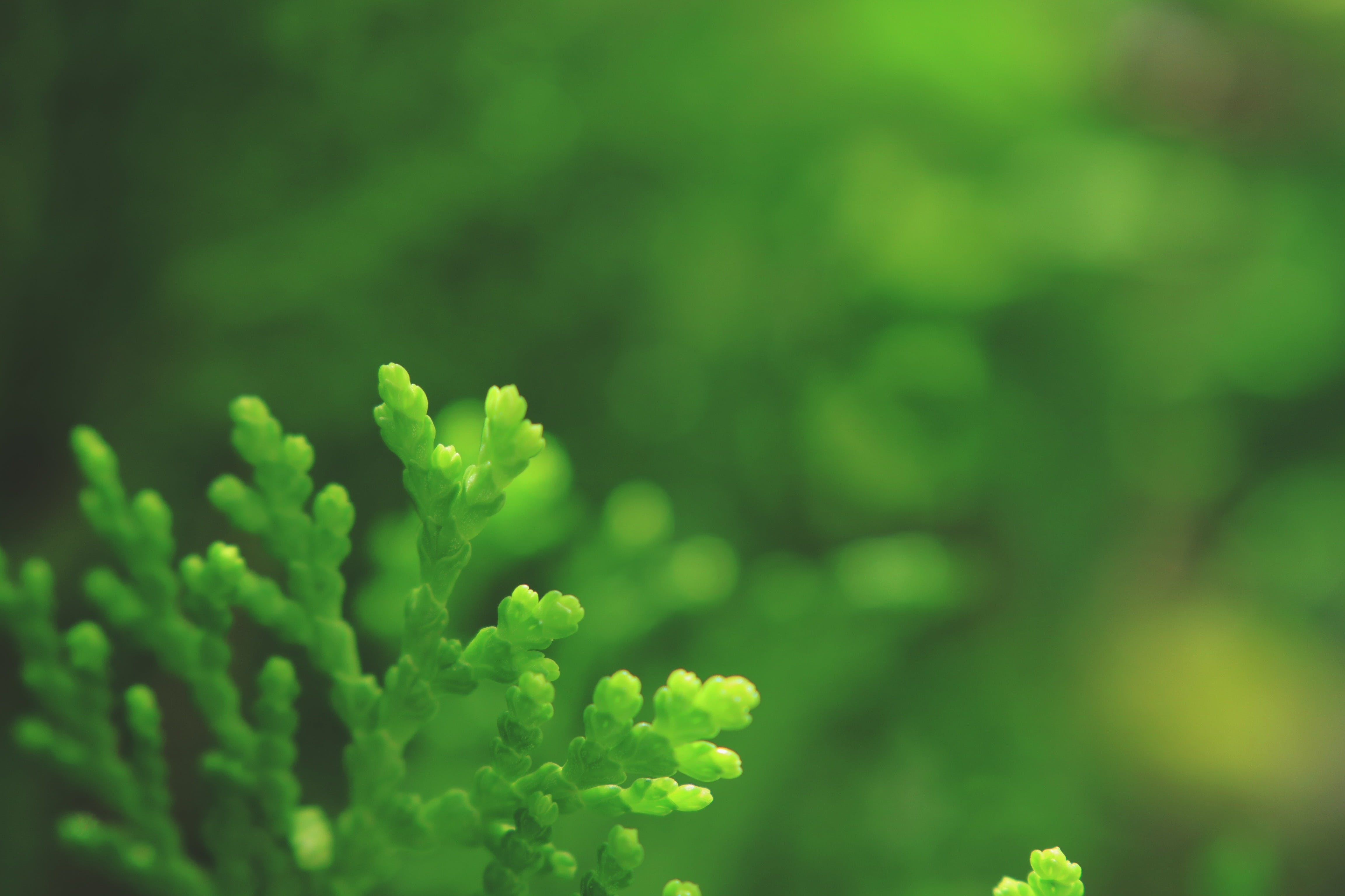 Free stock photo of evergreen, green, morning, plant