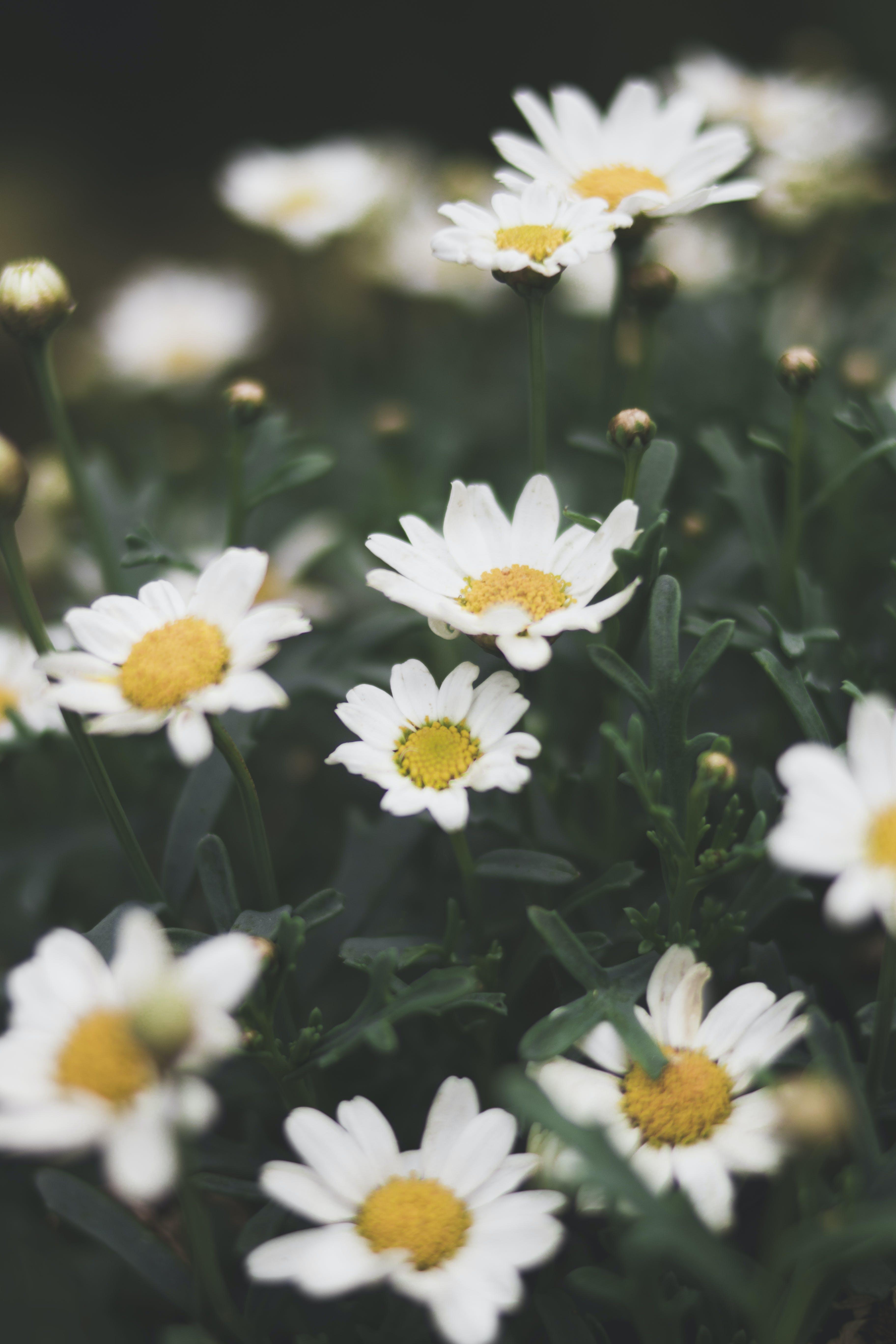 Shallow Focus Photograph of Daisy Flower