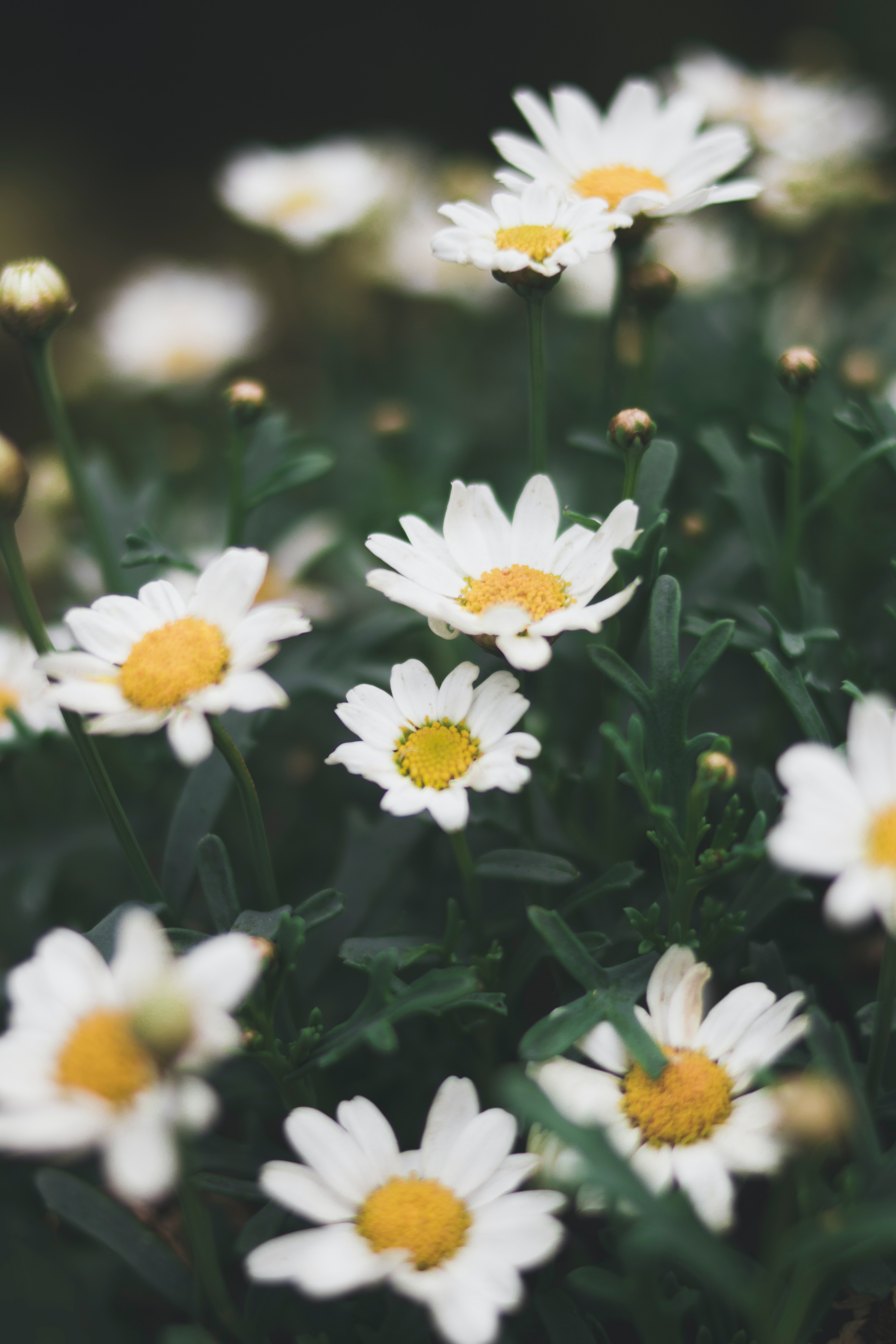 Shallow Focus Photograph Of Daisy Flower Free Stock Photo