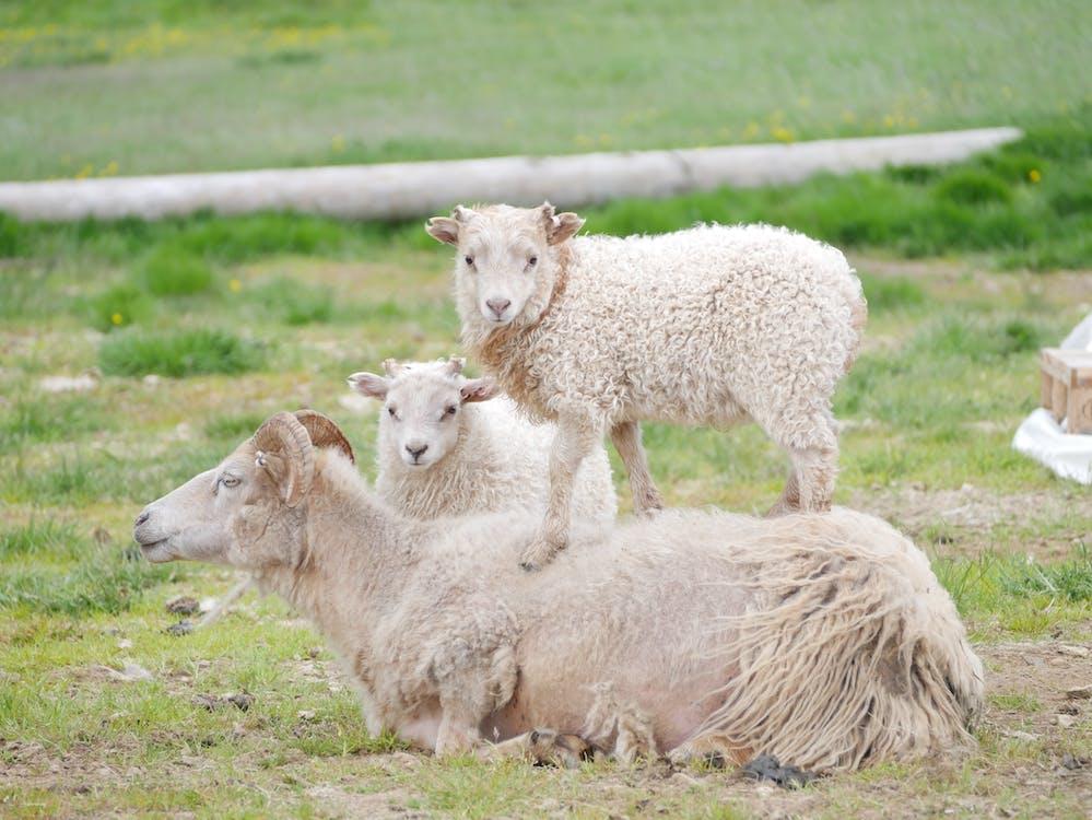 Free stock photo of sheeps