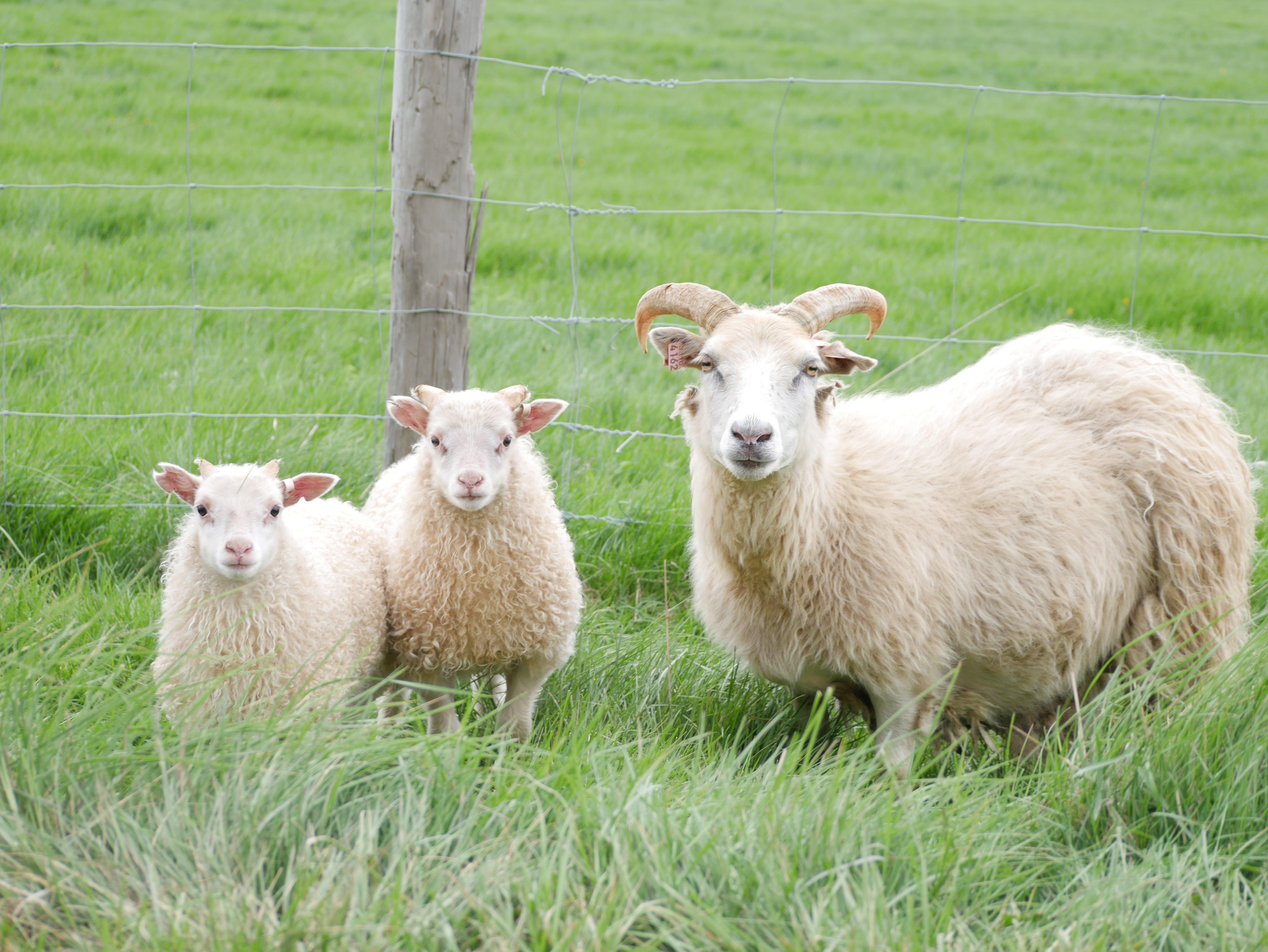 Free stock photo of iceland, lamb, sheeps