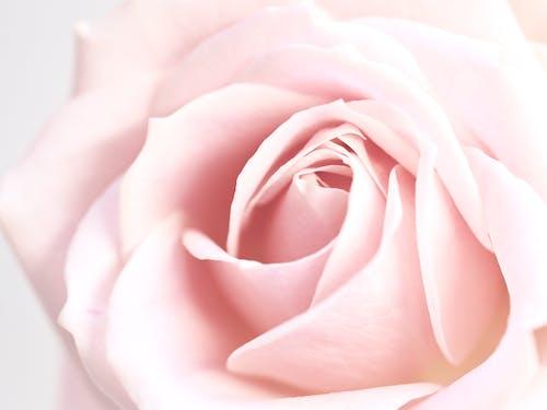 Free stock photo of background, feminine, flower, love