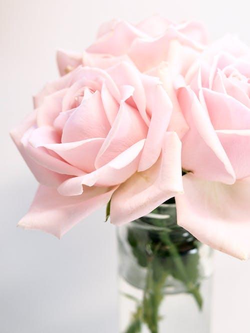 Photographie En Gros Plan De Roses