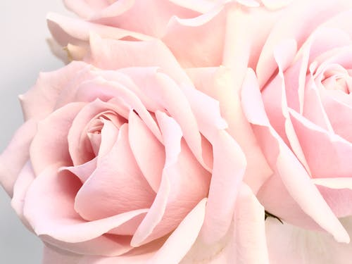 Delicate blossoming pale pink roses on white background